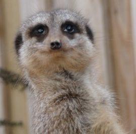 LS 2010 smiling meerkat