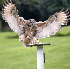 Falconry Centre Owl Wing Span