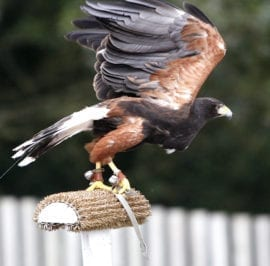 Falconry Centre Harris Hawk