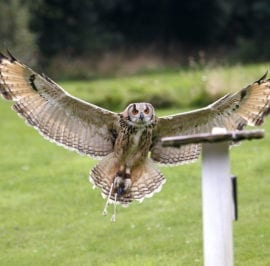 Falconry Centre Brown Owl