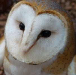 Falconry Centre Barn Owl