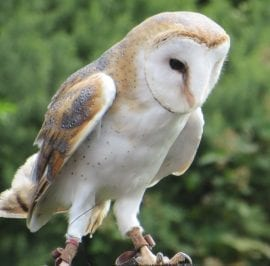 Ploppy the Barn Owl is waiting up at the Falconry to meet you on your family day out