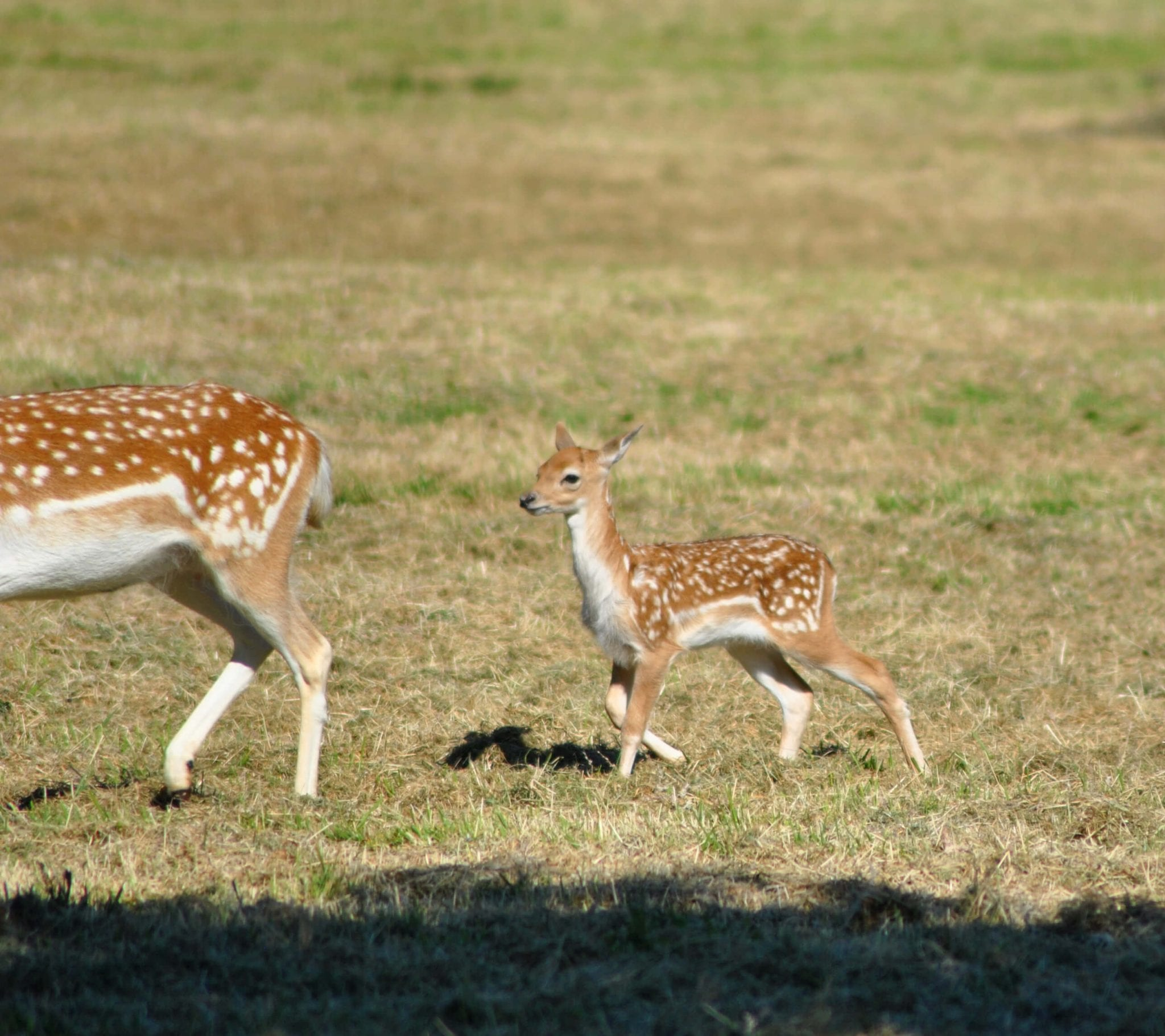 A deer fawn chasing after its mother at Woodlands Family Theme Park in Dartmouth