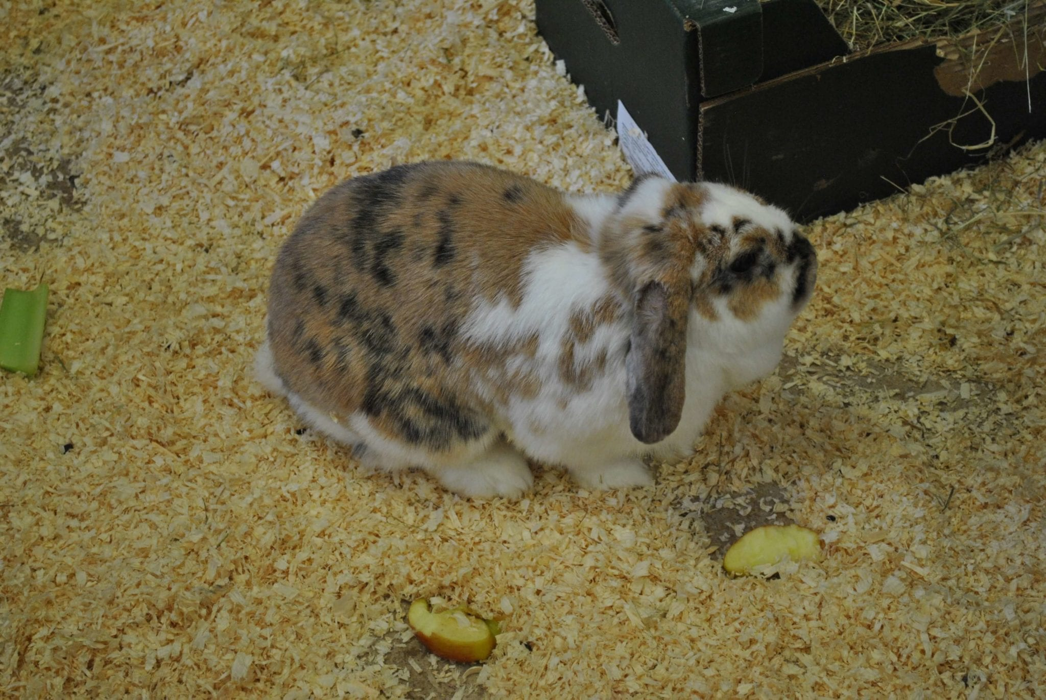 A cute speckled rabbit looking for food at the Zoo Farm at Woodlands