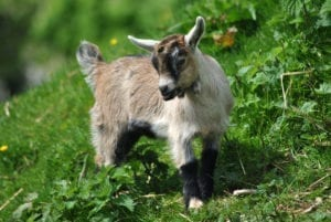 A handsome goat standing on a hill with white, brown and black fur.